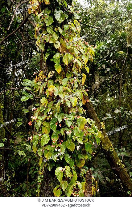 Epiphyte begonia (Begonia sp. ). Iguazu Falls National Park, Argentina