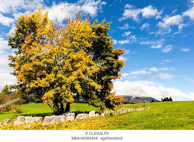 Altopiano of Asiago, Province of Vicenza, Veneto, Italy, Large beech tree along path in autumn