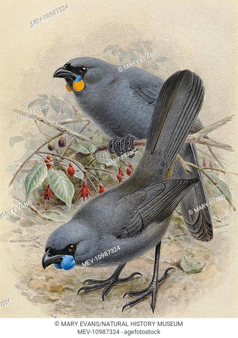 North Island Kokako, Callaeas wilsoni. Artwork by JG Keulemans from Sir Walter Lawry Buller's 'A History of the Birds of New Zealand', Vol.1 Plate 1