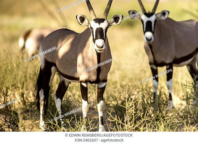 South Africa - Gemsbok in Khalagadi Transfrontier Park