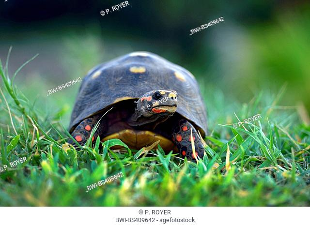 red-footed tortoise (Chelonoidis carbonarius), Turtle with red legs in a meadow, Grenada, Sandy island, Carriacou