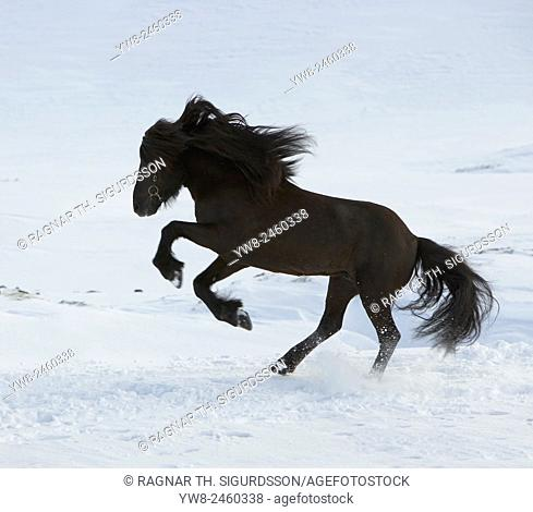 Icelandic Horse in the snow, Iceland