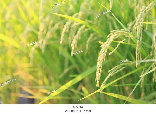 Rice Paddy in Summer, Toyama, Japan