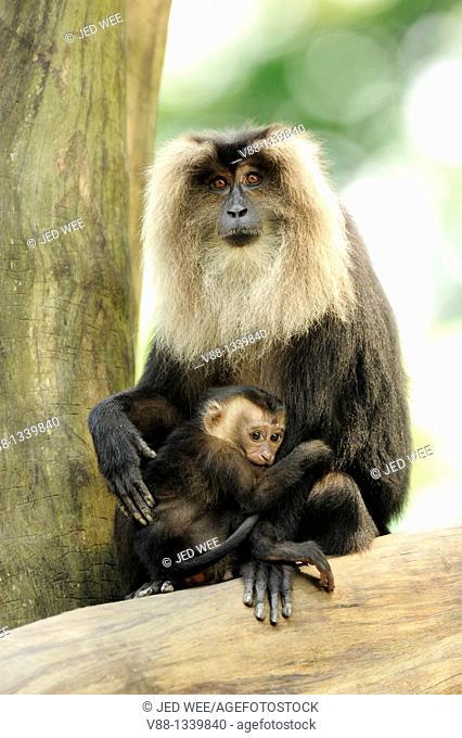 Long-tailed Macaque (Macaca silenus), Singapore Zoological Gardens, Singapore