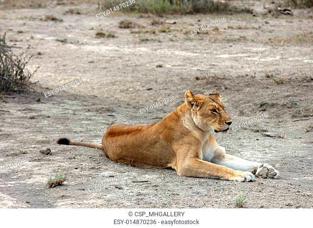 lions of Tanzania National park