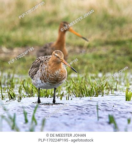 Two black-tailed godwits (Limosa limosa) foraging in wetland in spring