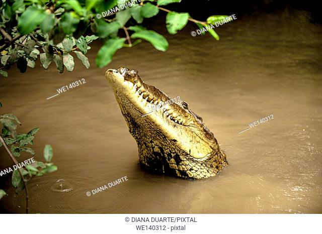 'American crocodile (Crocodylus acutus)'. The American Crocodile head is more narrow and elongate with a skinnier snout, and the fourth tooth on both sides of...