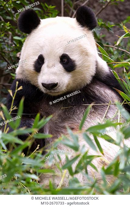 Giant Panda Bear in the mess of a bush in North America, USA