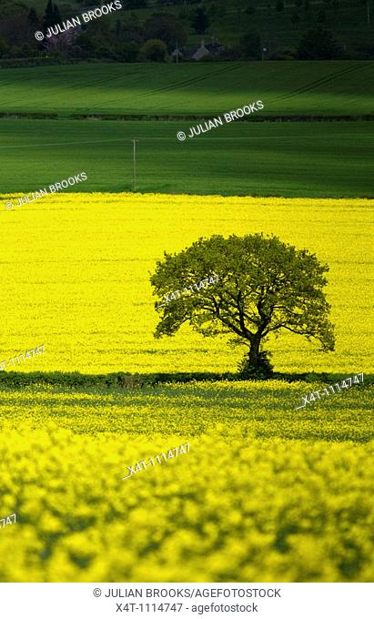 A single tree standing out against yellow oil-seed rape fields in the Cotswolds  Shadows creeping along the green field behind