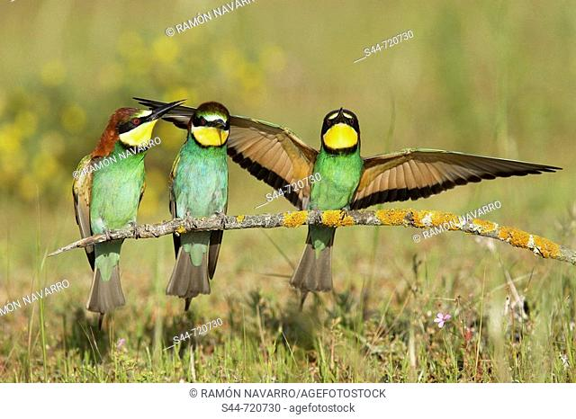 European Bee Eaters (Merops apiaster). Andalusia. Spain