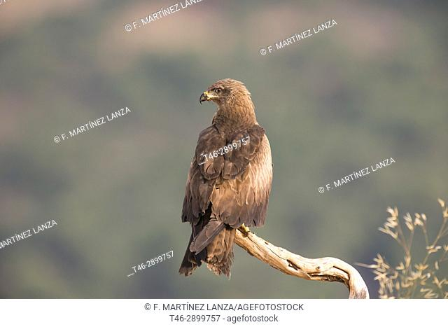 Black kite (Milvus migrans). Photographed in the Espinar Segovia