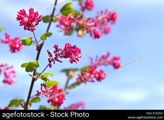 Groseillier a fleurs, (Ribes sanguineum), Departement d'Eure-et-Loir, Region Centre-Val-de-Loire, France, Europe/ red-flowering currant (Ribes sanguineum)