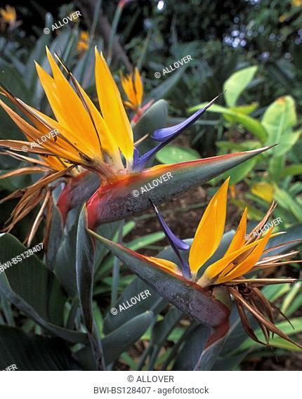crane flower, bird of paradise flower, geel piesang (Strelitzia reginae), flowers