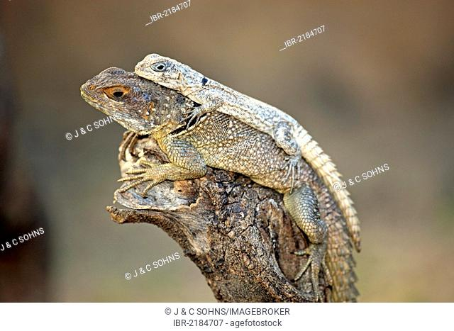Dumeril's Madagascar Swift (Oplurus quadrimaculatus), adult and juvenile, Madagascar, Africa