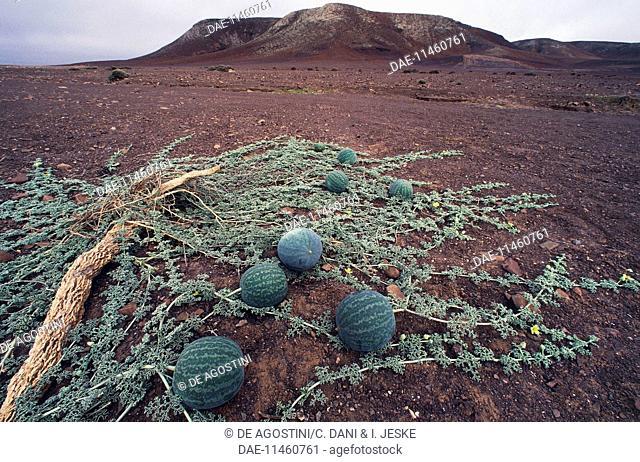 Namib Tsamma (Citrullus ecirrhosus), Cucurbitaceae, Namibia