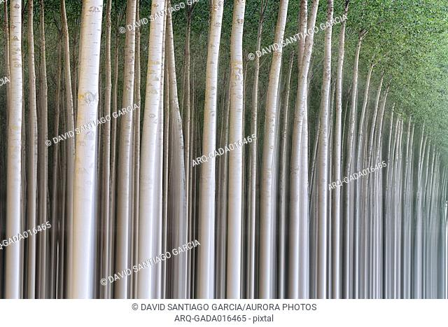 White poplar forest of Villafafila Natural Park, Zamora, Spain