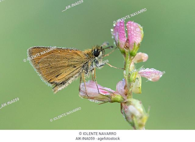 Lulworth Skipper (Thymelicus acteon) covered in rain drops resting on small plant with pink flowers in Mercantour in France