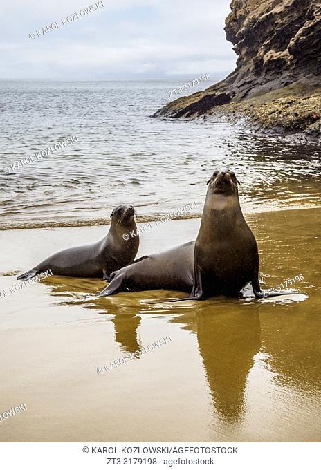 Sea Lions (Zalophus wollebaeki) on the beach at Punta Pitt, San Cristobal or Chatham Island, Galapagos, Ecuador