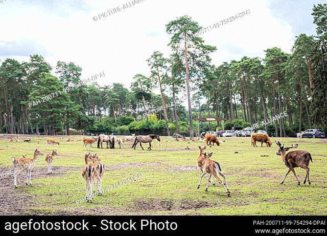 11 July 2020, Lower Saxony, Hodenhagen: Fallow deer, fallow deer, Scottish highland cattle and horses are on a large meadow area in the Serengeti Park...