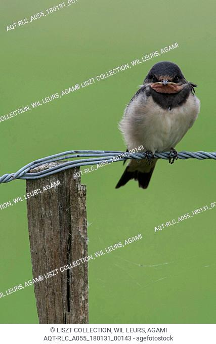 Barn Swallow juvenile perched on wire Netherlands, Barn Swallow, Hirundo rustica
