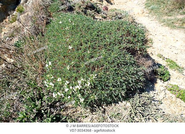 Coixinet de monja (Astragalus massiliensis or Astragalus tragacantha) is a cushion-like spiny shrub native to Mediterranean Basin (Catalonia, France