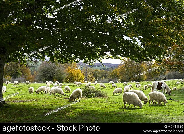 Herd of sheep and a horse on green pasture. Urbasa-Andia Natural Park. Navarre, Spain, Europe