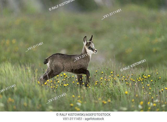 Alpine Chamois / Gaemse (Rupicapra rupicapra), cute fawn, stands in an alpine flower meadow