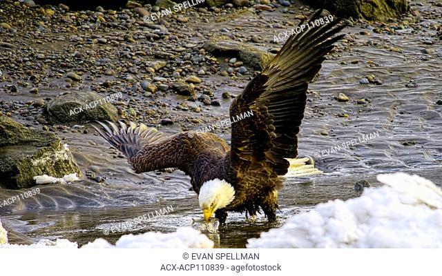 Bald eagle, Haliaeetus leucocephalus, catching oolichan fish in the skeena river, fishing at low tide, bald eagle has an oolichan fish in its beak