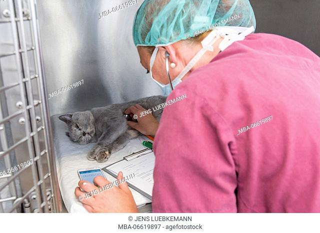 Cat with the veterinarian in the recovery area after an operation, assistant checks the cardiac shades
