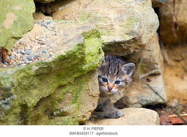 European wildcat, forest wildcat (Felis silvestris silvestris), kitten at the end of March, Germany, Bayrischer Wald
