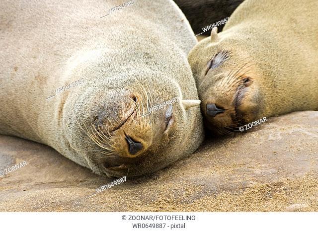 Suedafrikanische Seebaeren Arctocephalus pusillus, Benguelastrom, Cape Cross, Namibia, Afrika, Cape Fur Seals, benguela current, Africa