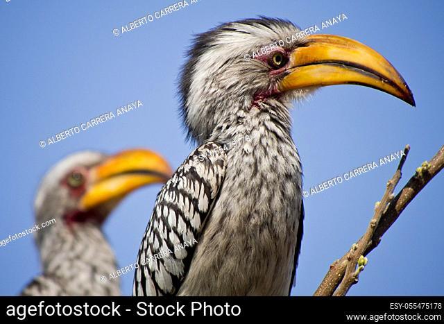 Redbilled hornbill, Tockus flavirostris, Chobe National Park, Botswana, Africa