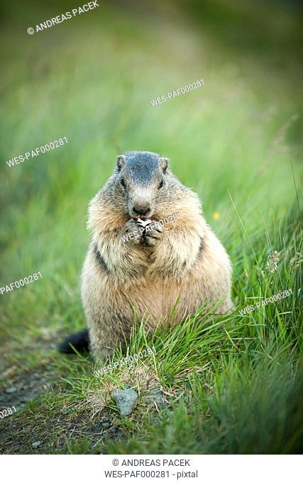 Austria, Carinthia, Kaiser-Franz-Josefs-Hoehe, alpine marmot (marmota marmota) eating