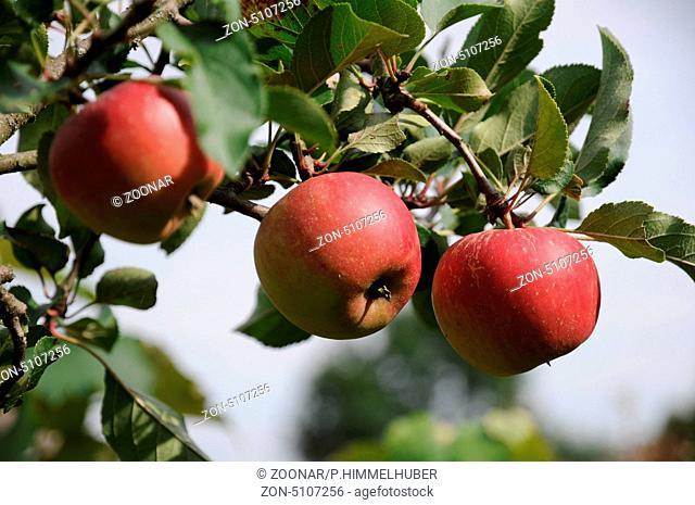 reife Früchte am Baum