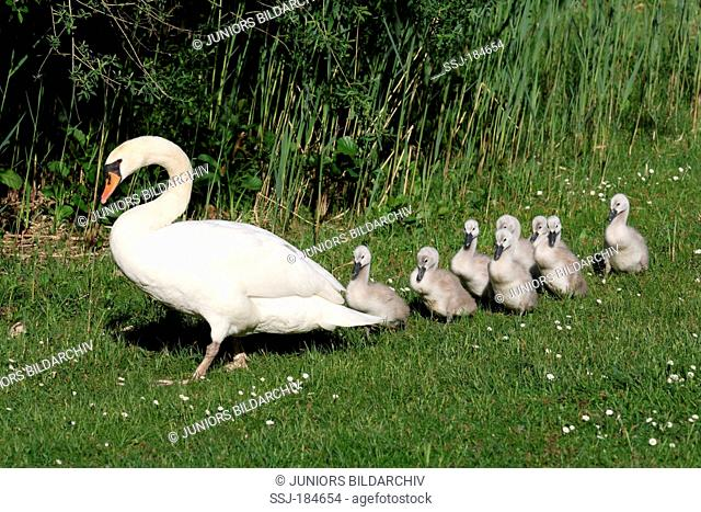Mute Swan (Cygnus olor). Adult leading cygnets on grass. Germany