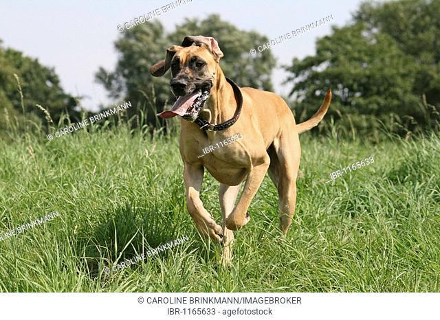 Great Dane running across a meadow