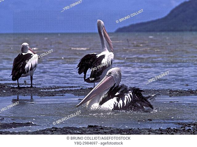 community of pelicans in Cairns. Pacific side. Queensland, Australia 1993