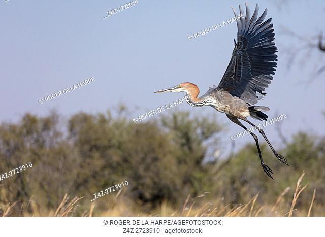 Goliath heron or giant heron (Ardea goliath) in flight. Okavango Delta. Botswana