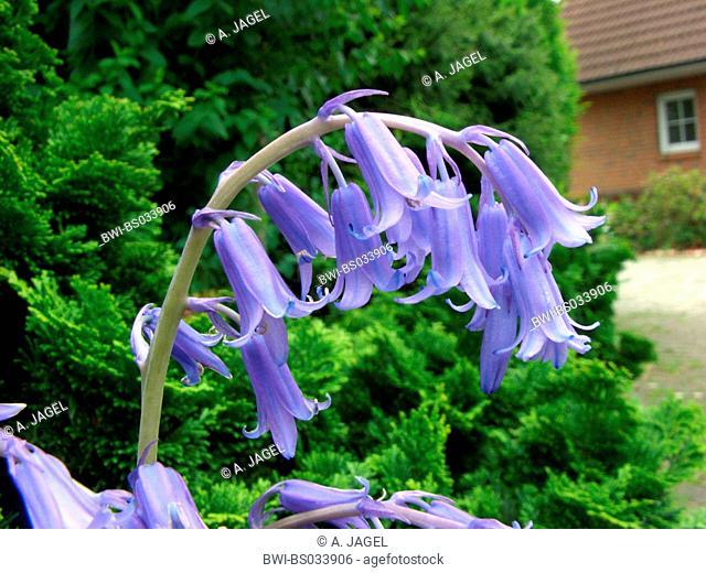 bluebell (Hyacinthoides non-scripta), flowers