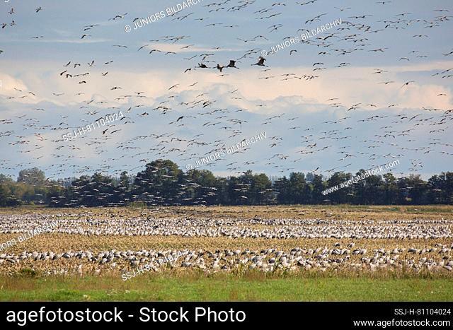 Common Crane (Grus grus). Group on a harvested corn fieldin autumn. Mecklenburg-Vorpommern, Germany