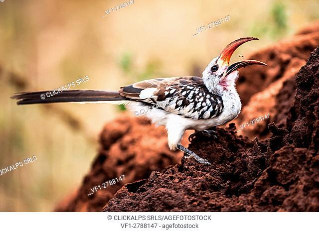 Tarangire National Park, Tanzania, Africa. Red-billed Hornbill (Tockus erythrorhynchus) eating termites