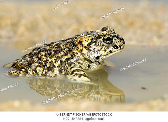 Rush toad Bufo calamita, sitting in puddle, small pond, Extremadura, Spain