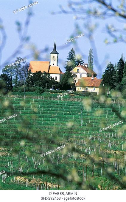 Landscape of vines near Jeruzalem, Slovenia