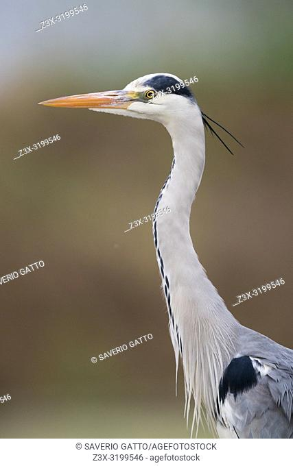 Grey Heron (Ardea cinerea), adult close-up