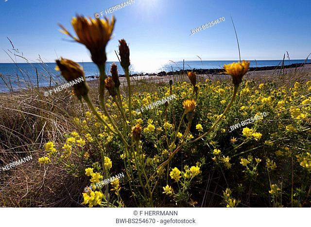 Sickle alfalfa, Sickle medick, Yellow lucerne, Yellow-flowered alfalfa Medicago falcata, Medicago sativa ssp. falcata, blooming at the coast together with...