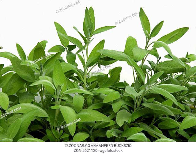 Salbei, Salvia officinalis, Kraeuterpflanze, Heilpflanzen