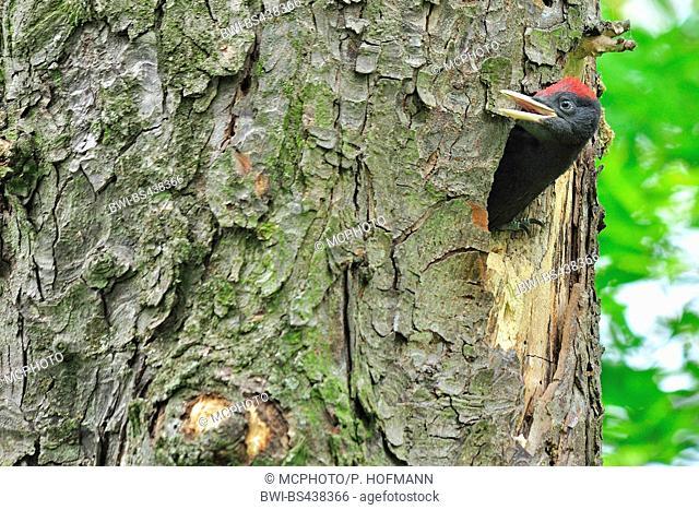 black woodpecker (Dryocopus martius), squeeker waiting for feeding, Germany