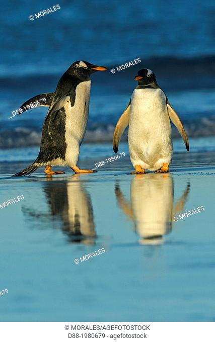 Falkland Islands, Saunders island, Gentoo Penguin Pygoscelis papua papua, coming out of the water to join their colony