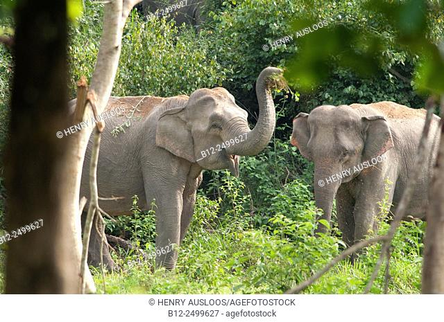 Asian Elephants (Elephas maximus). Dust bath. - Thailand