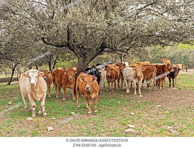 Retinta breed cows, Cáceres province. Extremadura. Spain